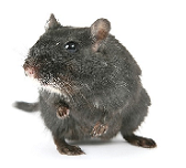 mouse exterminator jersey city